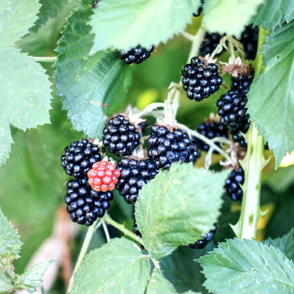 Blackberries about to be forest